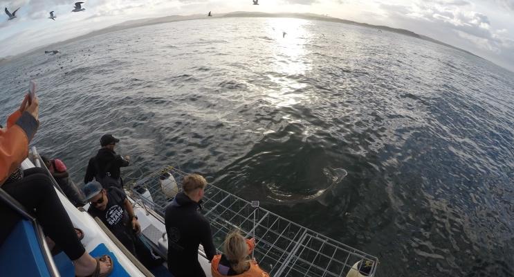 Mergulho com tubarão-branco na África do Sul