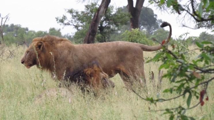 Safari no Kruger Park Leão